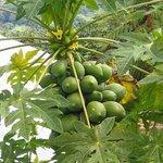fresh papaya's straight from the trees