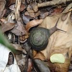 huge woodland snail on our hike, we tried not to step on them.