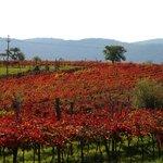 vineyards of 'teran' in september