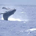 Humpback whale breach viewed from PWF boat, late March 2014