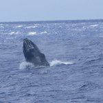 Humpback whale spy hop viewed from PWF boat, late March 2014