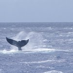 Humpback whale male suitor tail slap viewed from PWF boat, late March 2014