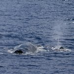 Mom and baby humpback whale blow holes viewed from PWF boat, late March 2014