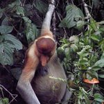 A male Proboscis Monkey near our boat