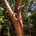 red bark tree a name i forget what it is