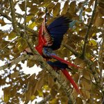 The Raucous Scarlet Macaws of Puero Jiminez
