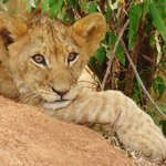 Lion Cub on Hill