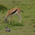 Mama gazelle with newborn