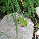 Tree Frog in garden