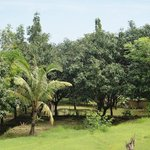 the Hamsa mango forest.