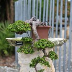 Beautiful Bonsai.There were so many to look at and enjoy. I photographed only a few of them.