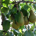 Our pears