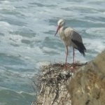 storks on the coast
