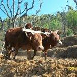 Ox plowing field