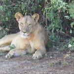 Samburu Reserve - Lioness
