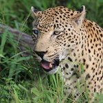Leopard at Notten's
