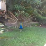 Paulo one of the six resident peacocks