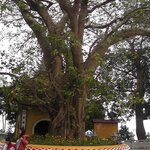 Chua Tran Quoc Tree