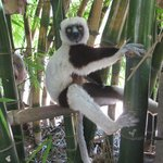 Лемур Маки обнимает бамбук