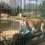Sandown zoo with tiger feeding