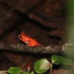 La Rana Roja