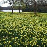Daffodils at Virginia Water