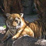 lovely tiger