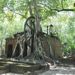 A stangler fig in the middle of the old sugar mill