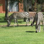 Zebras roam the grounds