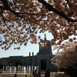 Golder pioneer through cherry blossoms