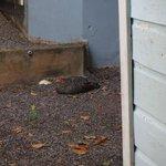 resident chicken
