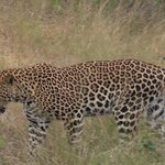 Leopard Walks Right In Front Of Our Vehicle!