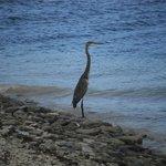 Blue Heron near beach
