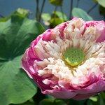 Giant Lotus!
