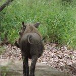 Warthog on the walkway