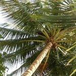 Beware of falling coconut.