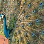 Hope you love peacocks