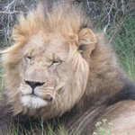 Our lion