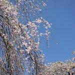 しだれ桜もあります