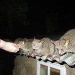 Bushbaby feeding time