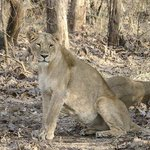 Lioness on the alert