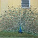 Resort Peacock