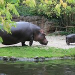 Семейство бегемотов