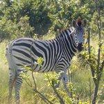Zebra on a game drive