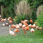 Почти красные фламинго