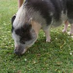 Pet pigs on property