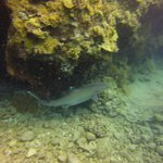 White Tip Reef Shark on dive with Scott