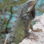 One of many iguanas while dining