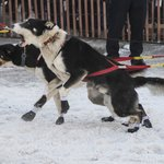 Sled dogs in the Iditarod.