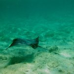 Spotted Eagle Ray at the Reef